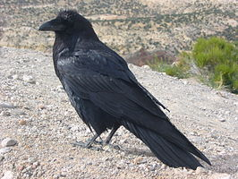 Corvus_corax_along_road